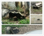 The skunk that held me hostage in my car!! @BCmtrench